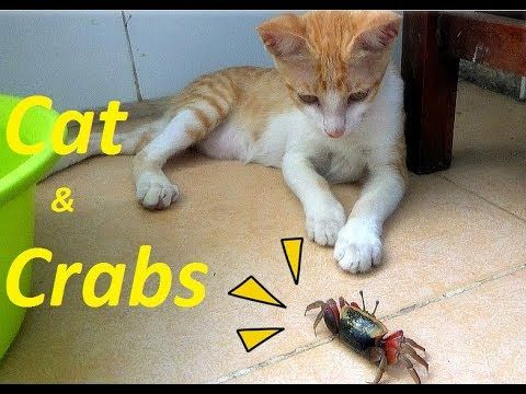 Cat Fighting With Crabs So Cute Funny Cat vs Crabs 2017