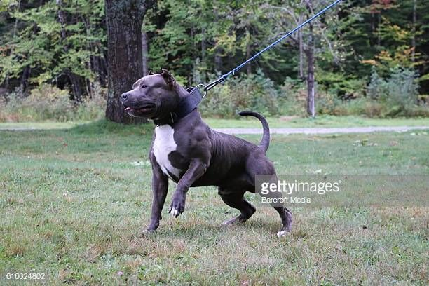 Meet Kobe the son of world famous pit bull Hulk who is set to be the