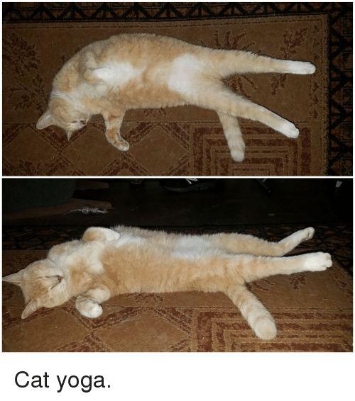 Yoga Cat and Cat Yoga Cat yoga