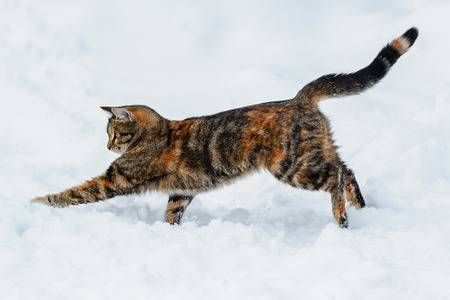 graceful funny tabby cat playing and hunting on the white snow in the winter garden Stock