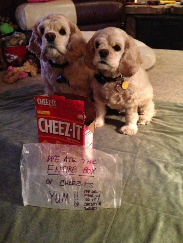 Barley & Chessy ate an entire box of cheez its with little damage to the box or wrapper Not a crumb to be found Very proud of their cl…