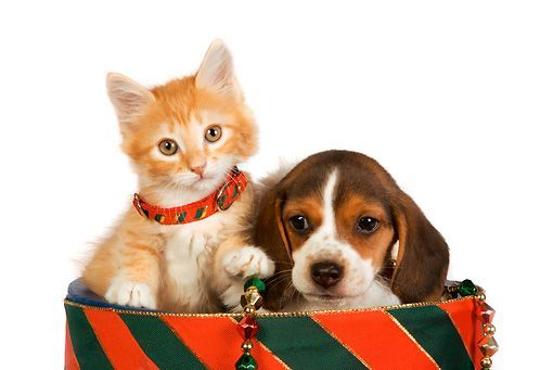 DOK 01 RK0383 01 © Kimball Stock Head Shot Beagle Puppy And Orange Tabby Kitten In Christmas Drum Studio