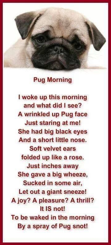 Poem that Pug owners can relate to Pug Morning is cute and somewhat true I think it is a joy a pleasure and a thrill to see Lulu every morning