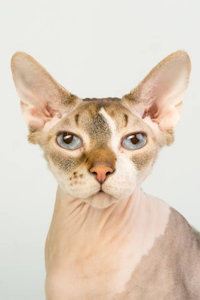 Bold sphinx cat with blue eyes close studio portrait looking at camera stock photo