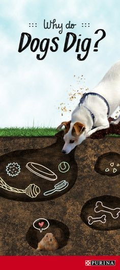 Ever wonder why it seems like dogs are always digging They could be burying dog