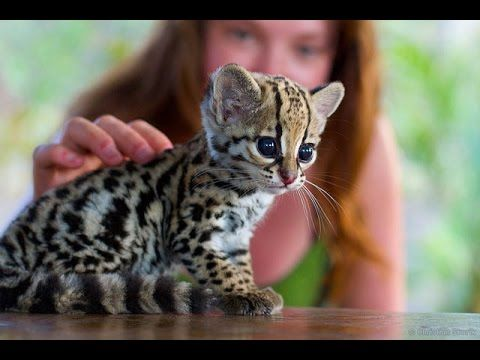 cute baby ocelot kittens ○ sweet pet Ocelot Kittens Playing Funny cats and cute kittens