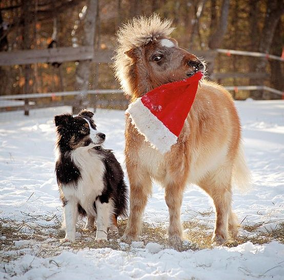 Australian Shepherd & Miniature Pony