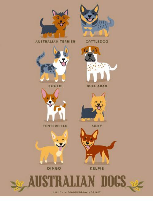 Dogs Funny and Tumblr CATTLE DOG AUSTRALIAN TERRIER KOOLIE BULL ARAB TENTERFIELD SILKY