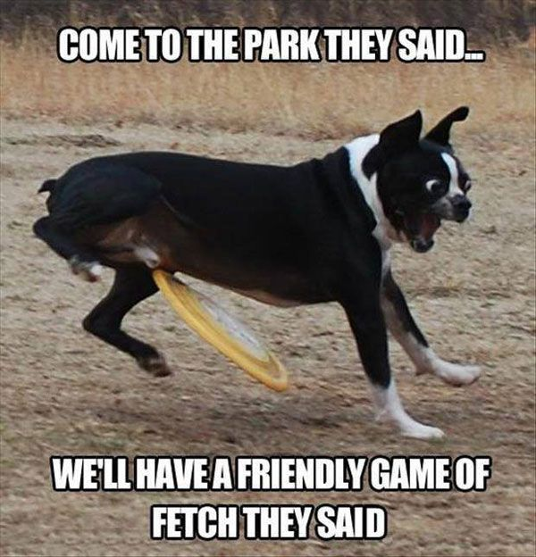 Boston Terrier Frisbee Fail Funny Meme Funny Animal Funny Memes Dog