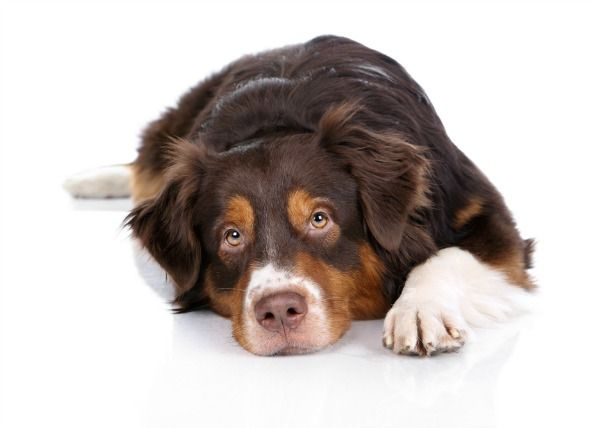 In cases of poisoning in dogs the most mon cause is unintentional overdosing of medications Veterinary pills are easily over consumed by dogs
