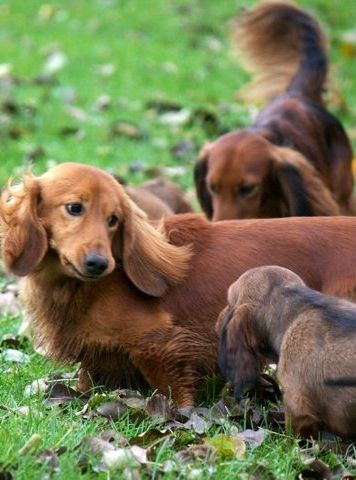 Grab the Beautiful Funny Weinie Dog Pictures