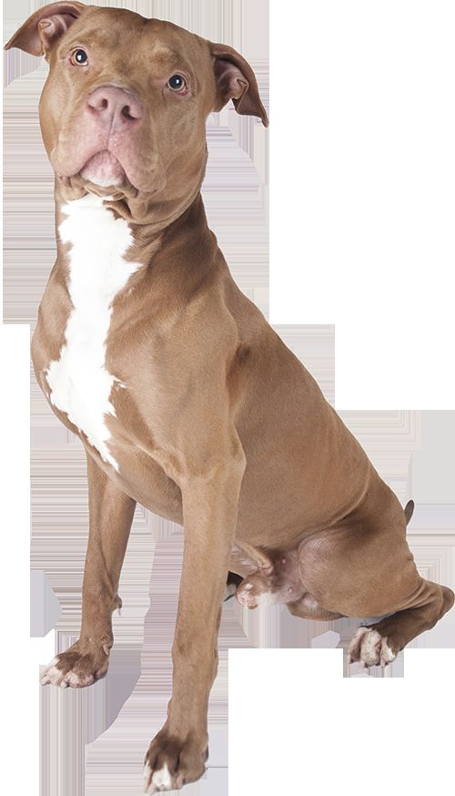 What Is The Best Dog Food for a Pitbull Pitbull
