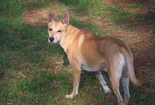 Carolina dogs received national attention in the 1970 s when an ecologist Dr I Lehr Brisbin became curious about them while doing stu s in the Savannah