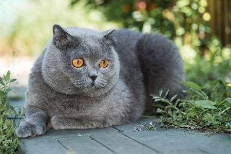 Grey british cat lying in the green grass background cute funny cat close up