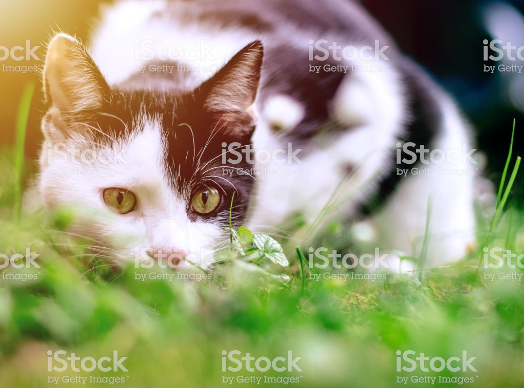 funny black and white cat hunting in the grass under the trees royalty free stock