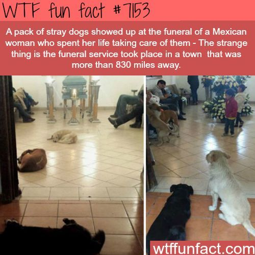Stray dogs show up to a funeral of a woman that cared of them WTF Fun Fact aww looks like they miss their mamma cute and sad