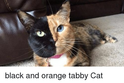 Black Orange and Cat black and orange tabby Cat