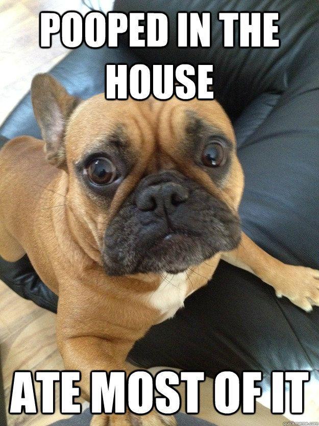 Funny Bulldog Memes French Bulldog Meme Funny Bulldog French Bulldogs Funny Dog Memes