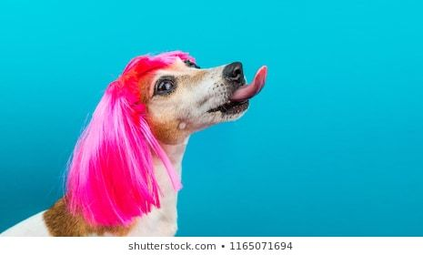Funny dog profile in pink wig on blue background licking