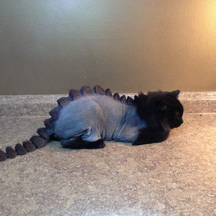 Instead of a lion cut go for a dinosaur cut No leave the cats fur alone There not here for your sick amusement