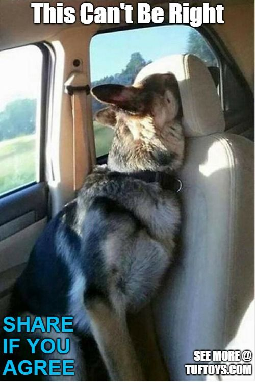 funny german shepherd dog ting snout stuck in car seat head rest and regretting it
