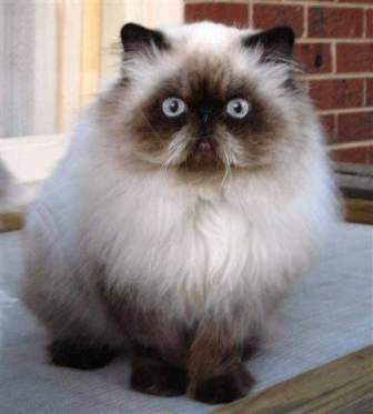 Grab the Suprising Funny Himalayan Cat Pictures