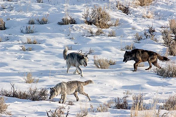 Beloved Wolf 253′ killed in Wyoming KSL News Salt Lake City