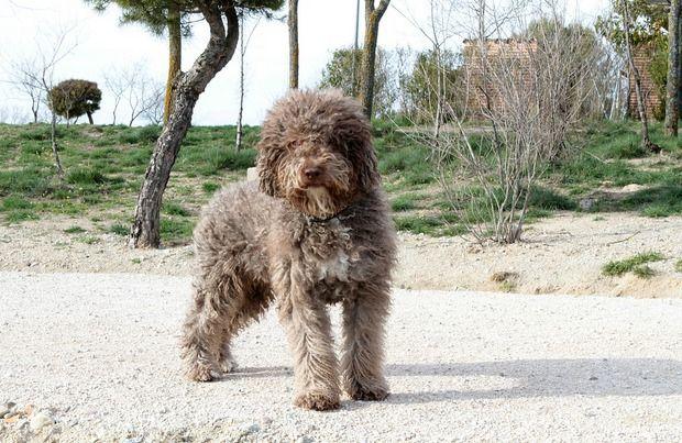 medium size curly hair dog standing