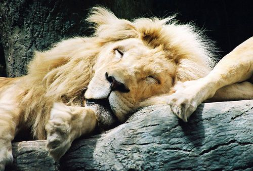 The Lion Sleep Thought Mike might like this