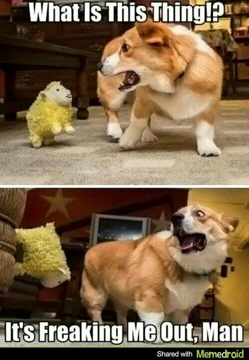 Grab the Wonderful Funny Animal Pictures with Captions Corgi