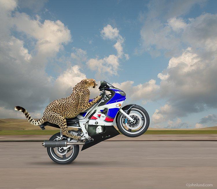Cheetah Riding Motorcycle