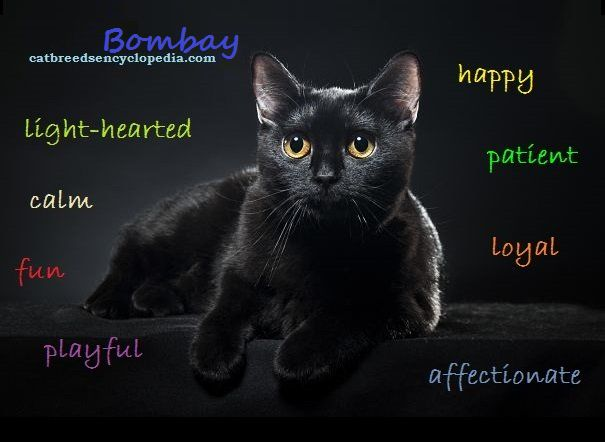 "The Bombay cat is known as the ""Parlor Panther"" My baby Stevie"