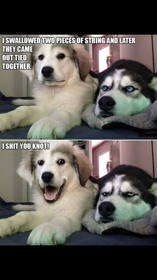 Pun Husky Funny Husky Meme Hilarious Animal Memes Cute Animal Memes Cute