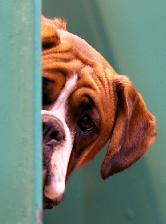 A Boxer dog looks out from its kennel on the first day of the Crufts dog show at the National Exhibition Centre on March 2014 in Birmingham England