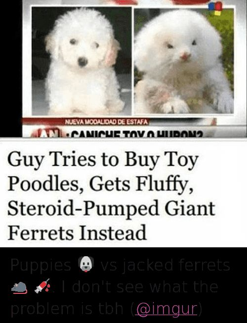 Animals Dogs and Funny Guy Tries to Buy Toy Poodles Gets Fluffy