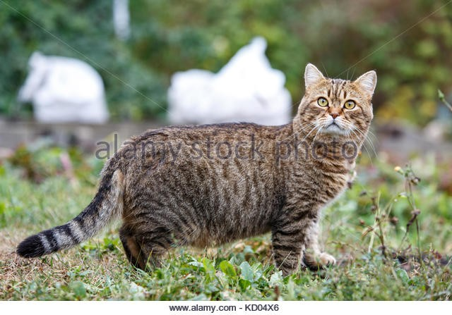 Funny fat cat hunting in the yard Ordinary greyish orangish cat waiting for mice