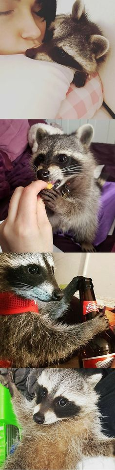This girl is raising the cutest pet raccoon ever She rescued the raccoon Cody