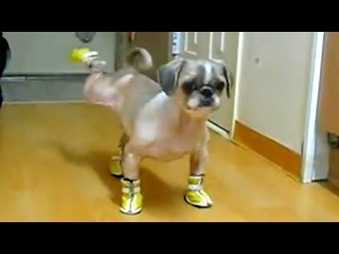 Cats and dogs wearing shoes Funny animal pilation