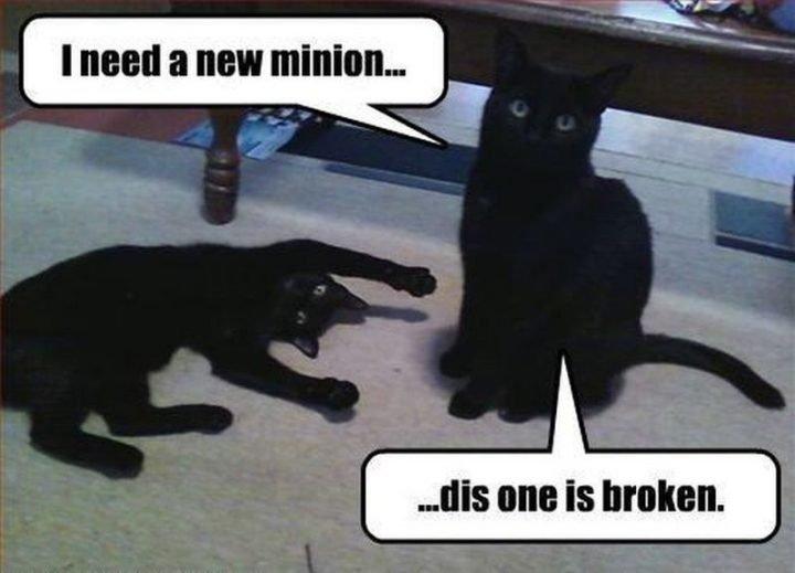 "55 Funny Cat Memes ""I need a new minion dis one """