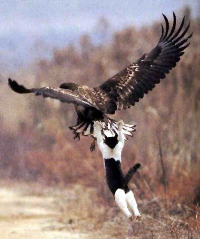 Funny Brave Eagle Hunter Cat
