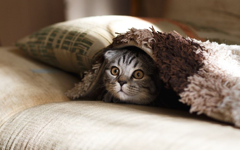brown Scottish fold in brown thick pile blanket