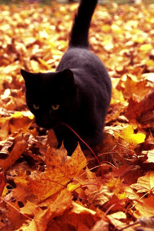 Black cat fall leaves 3