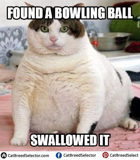 Funny Fat Cat Memes
