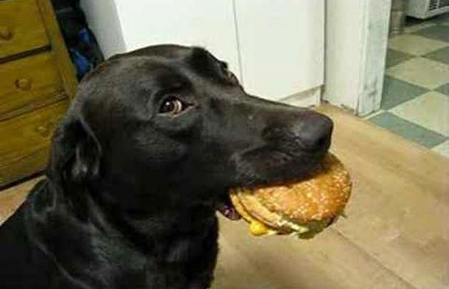 The Most Disciplined Black Labrador Ever