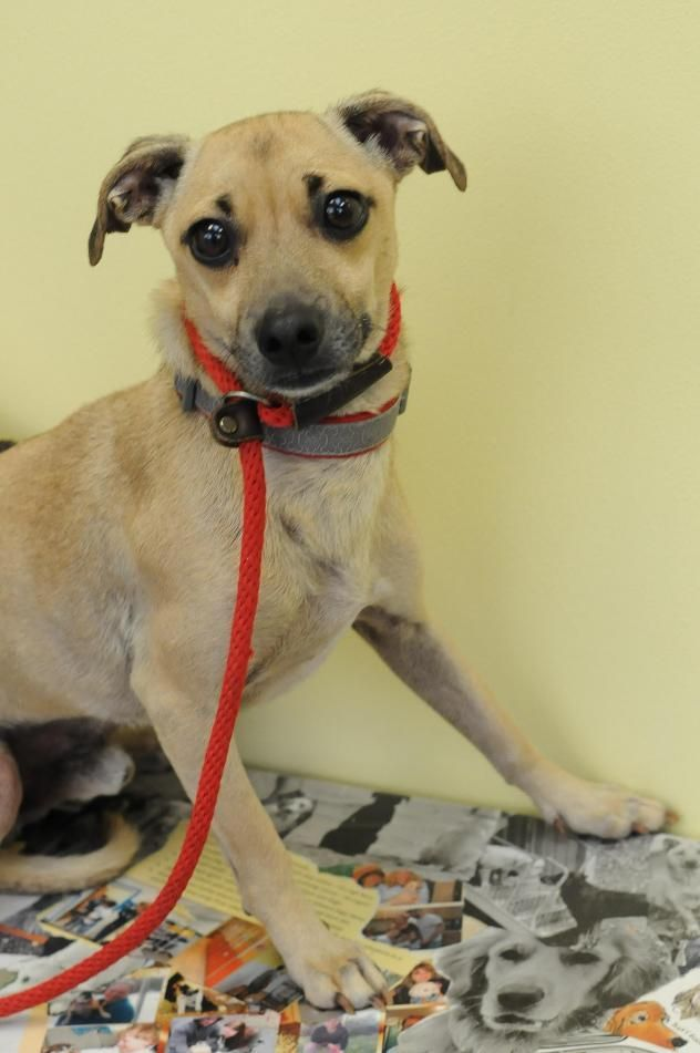 Doug Italian Greyhound Mix & Pug • Adult • Male • Small Animal Alliance Lambertville NJ DOUG is a 4 year od 10 pound Italian Greyhound Pug mix who has