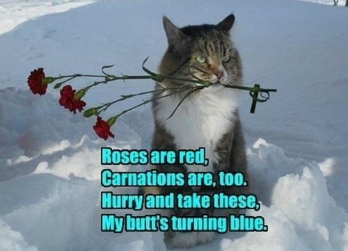 Funny Valentine Joke Pic LOLcat rhyme on Valentines Day For more funny cat meme pics visit funny cat pics
