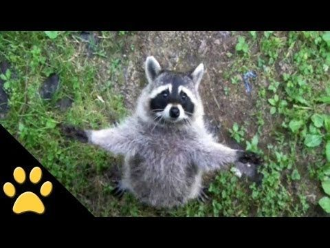 Raccoons Are Awesome pilation playlist This is why I want · Funny Animal