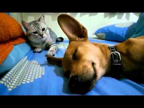 Cat Viciously Attacks Sleeping Dog