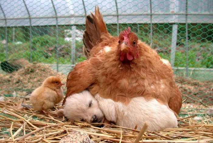 2 Hen And Dog