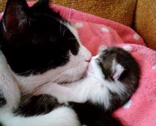 funny cat mom kitten kiss cute on imgfave Kittens Cutest Cute Cats I Love